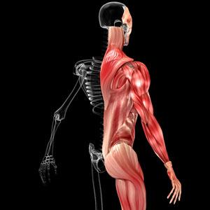 גב עליון מבנה אנטומי ותנועה