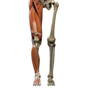 מפרק הברך אנטומיה וביומכניקה