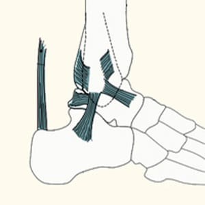 כף הרגל אנטומיה וביומכניקה