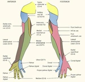 גפה עליונה אנטומיה ותנועה
